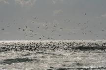 Cormorants Fishing, Cape Point, Fisherman, Cape Hatteras National Seashore, Buxton, Hatteras Island, North Carolina, Epic Shutter Photography, Outer Banks Photographers, Documentary Photographer, Hatteras Island Photographers