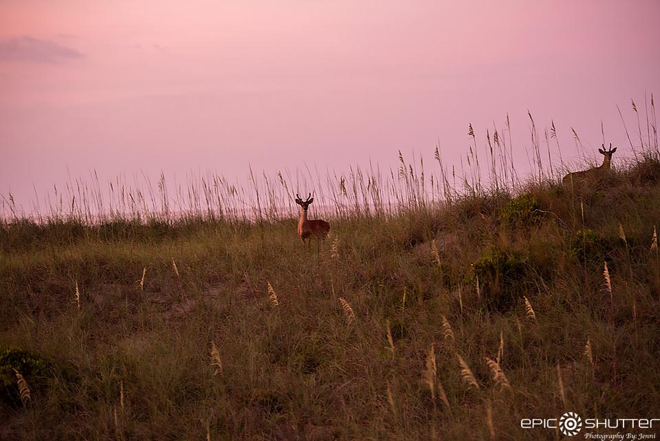 Deer on the Beach, Hatteras Village, Sunrise, Cape Hatteras Photographers, Epic Shutter Photography, Outer Banks Photographers, OBX Photographers, Cape Hatteras National Seashore, Hatteras Island, North Carolina, Hatteras